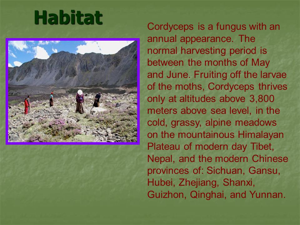 Habitat Cordyceps is a fungus with an annual appearance. The normal harvesting period is between the months of May and June. Fruiting off the larvae o