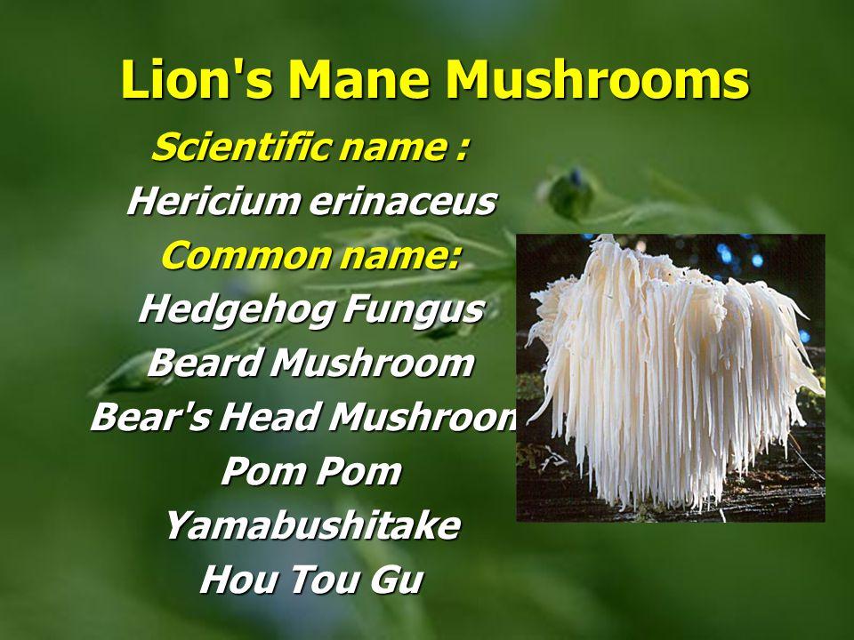 Lion's Mane Mushrooms Lion's Mane Mushrooms Scientific name : Hericium erinaceus Common name: Hedgehog Fungus Beard Mushroom Bear's Head Mushroom Pom