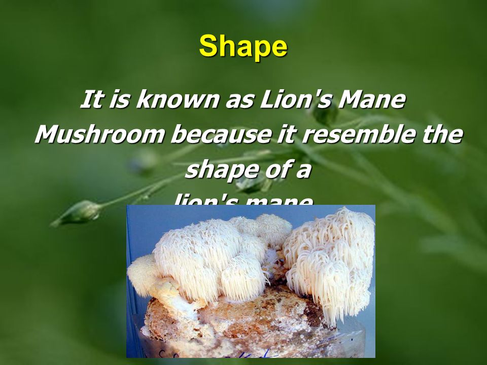 Shape It is known as Lion s Mane Mushroom because it resemble the shape of a lion s mane.