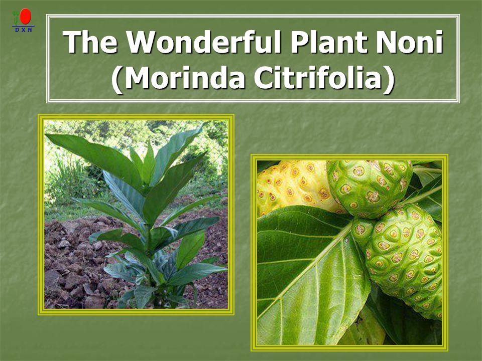 The Wonderful Plant Noni (Morinda Citrifolia)
