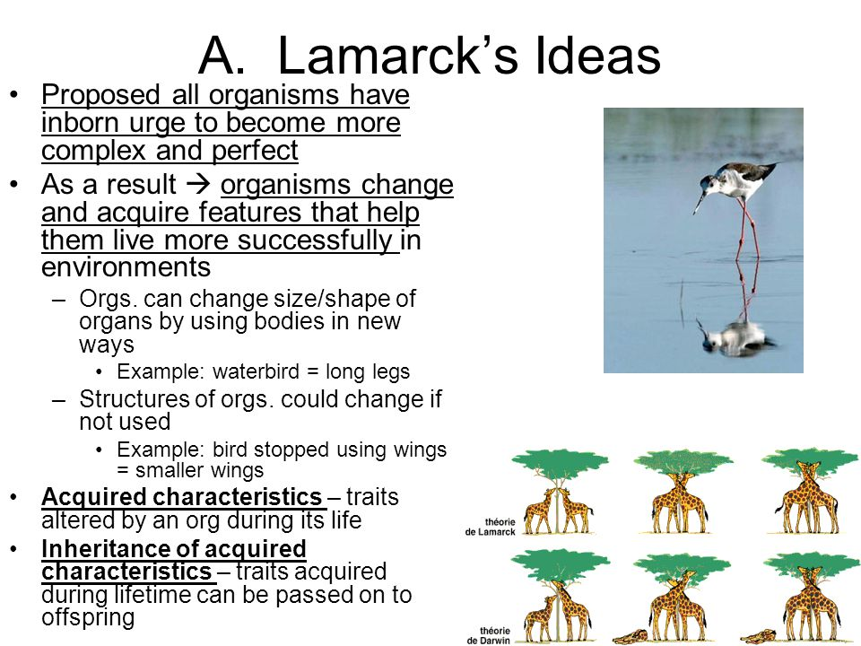 A. Lamarcks Ideas Proposed all organisms have inborn urge to become more complex and perfect As a result organisms change and acquire features that he