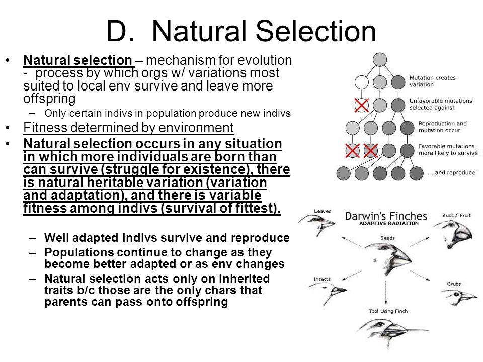 D. Natural Selection Natural selection – mechanism for evolution - process by which orgs w/ variations most suited to local env survive and leave more