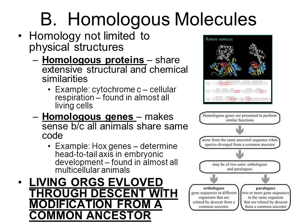 B. Homologous Molecules Homology not limited to physical structures –Homologous proteins – share extensive structural and chemical similarities Exampl