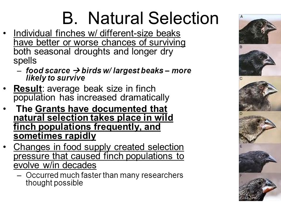 B. Natural Selection Individual finches w/ different-size beaks have better or worse chances of surviving both seasonal droughts and longer dry spells