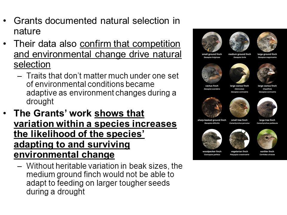 Grants documented natural selection in nature Their data also confirm that competition and environmental change drive natural selection –Traits that d