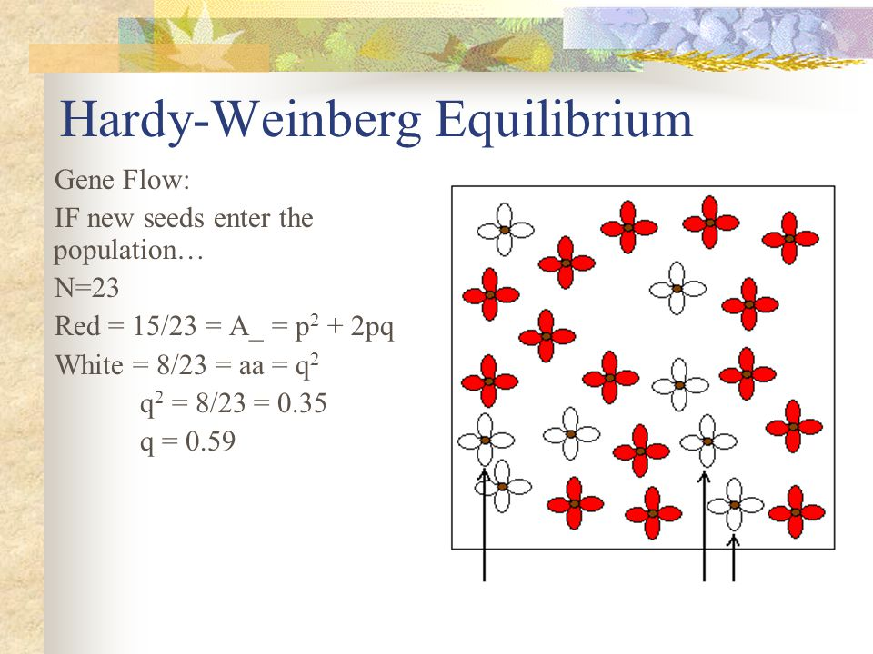 Hardy-Weinberg Equilibrium Gene Flow: IF new seeds enter the population… N=23 Red = 15/23 = A_ = p 2 + 2pq White = 8/23 = aa = q 2 q 2 = 8/23 = 0.35 q