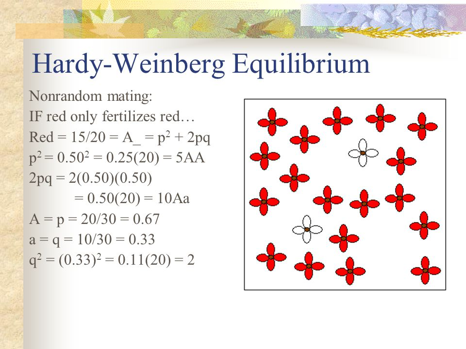 Hardy-Weinberg Equilibrium Nonrandom mating: IF red only fertilizes red… Red = 15/20 = A_ = p 2 + 2pq p 2 = 0.50 2 = 0.25(20) = 5AA 2pq = 2(0.50)(0.50