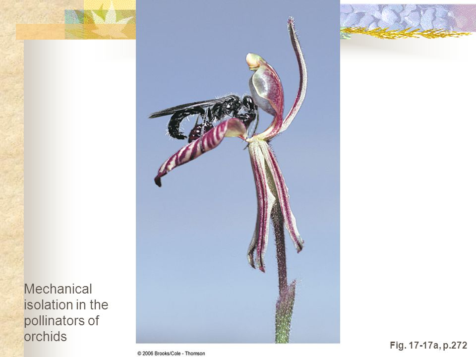 Fig. 17-17a, p.272 Mechanical isolation in the pollinators of orchids