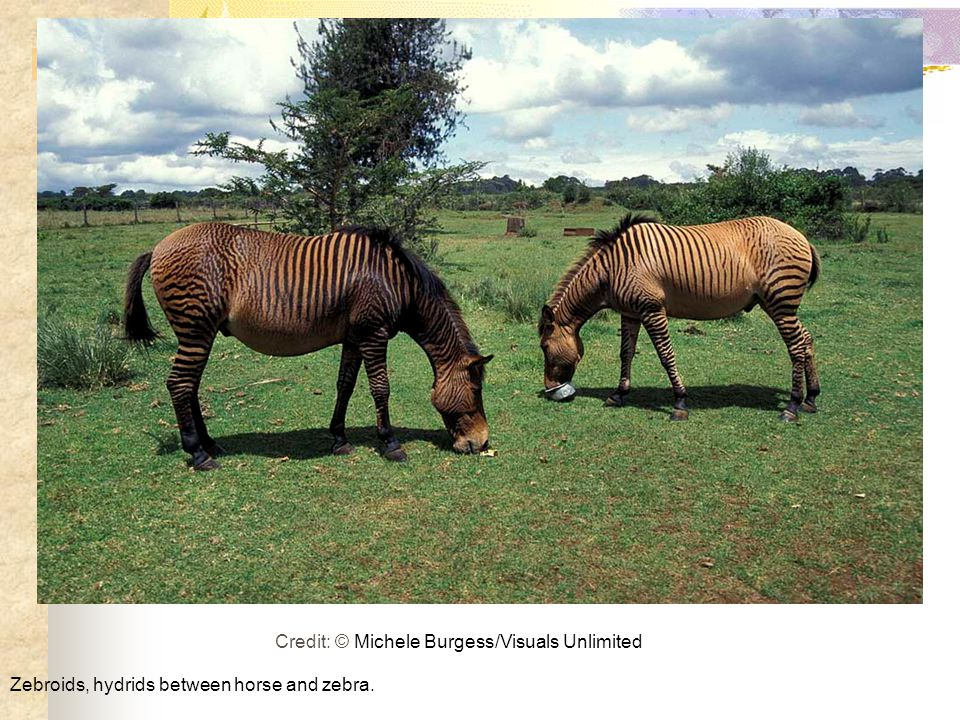 Zebroids, hydrids between horse and zebra. Credit: © Michele Burgess/Visuals Unlimited