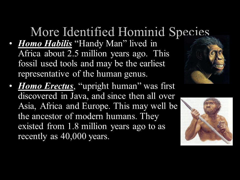 More Identified Hominid Species Homo Habilis Handy Man lived in Africa about 2.5 million years ago. This fossil used tools and may be the earliest rep