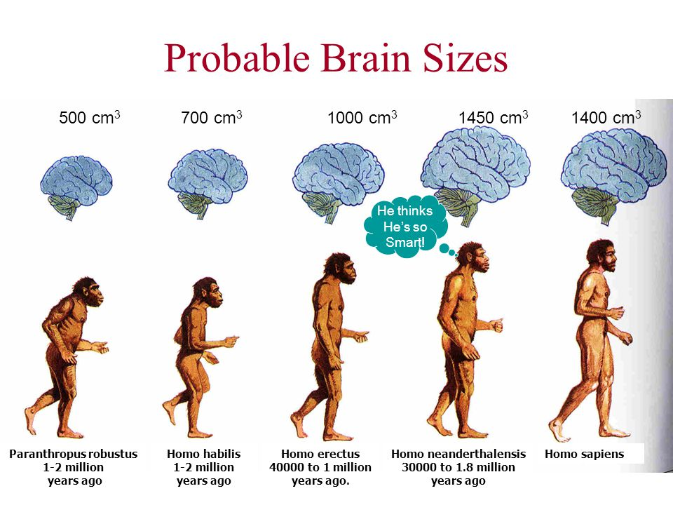 Probable Brain Sizes 500 cm 3 700 cm 3 1000 cm 3 1450 cm 3 1400 cm 3 He thinks Hes so Smart! Homo neanderthalensis 30000 to 1.8 million years ago Homo
