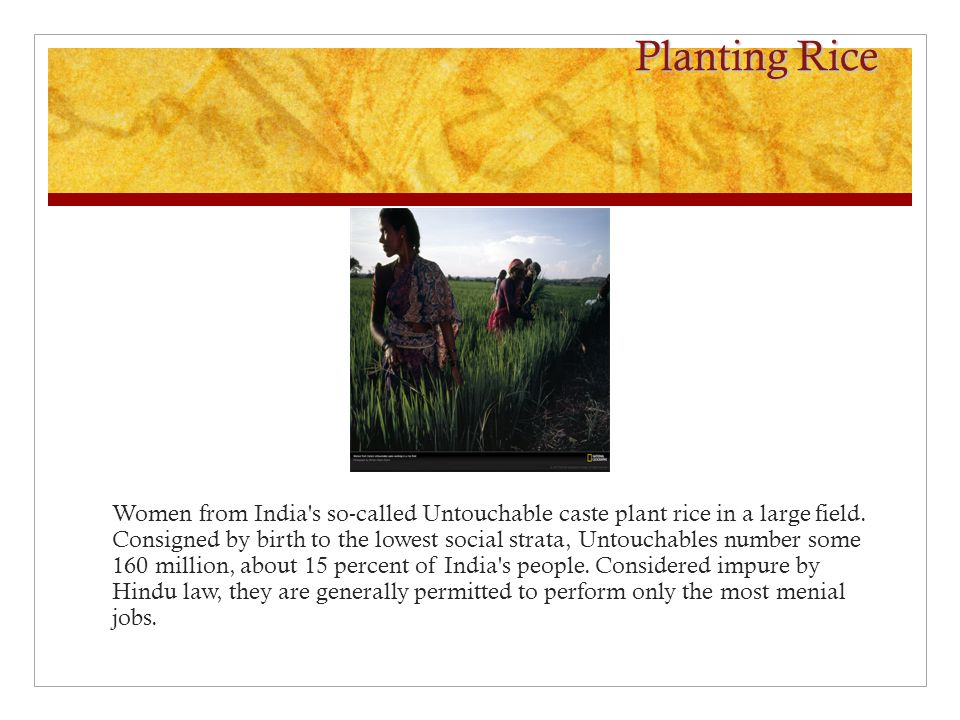 Planting Rice Women from India s so-called Untouchable caste plant rice in a large field.