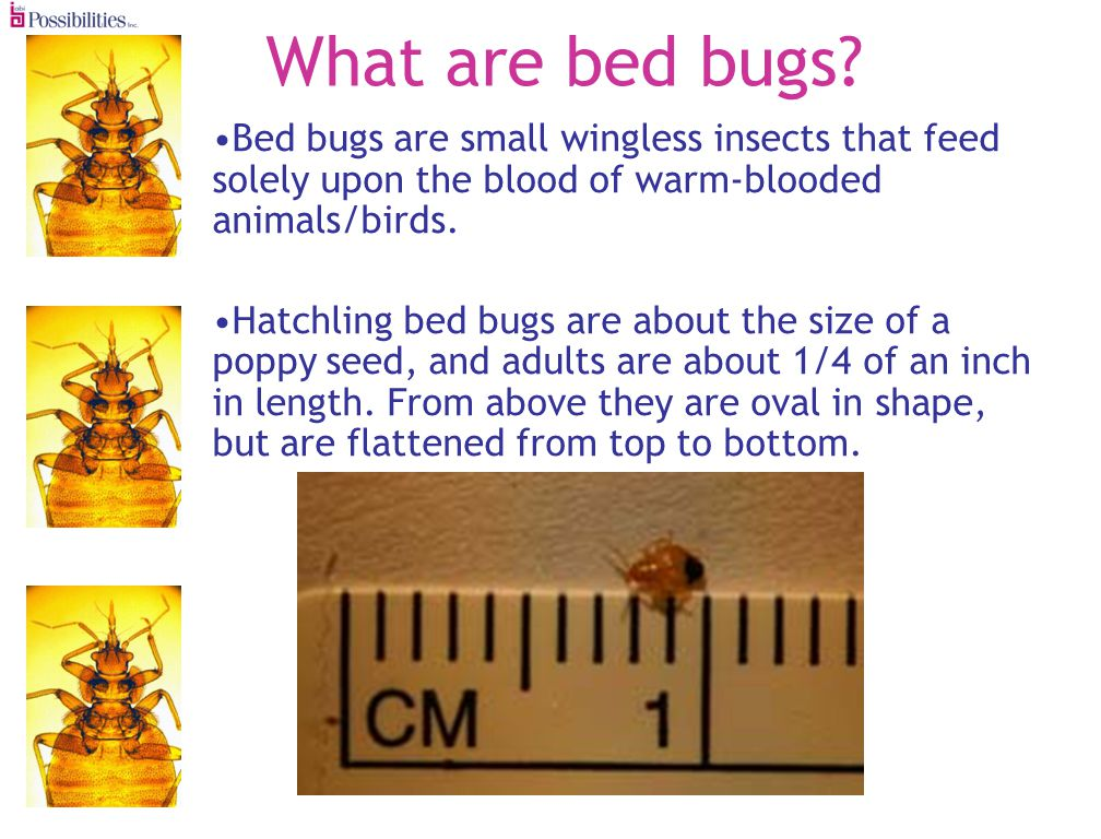 What are bed bugs.