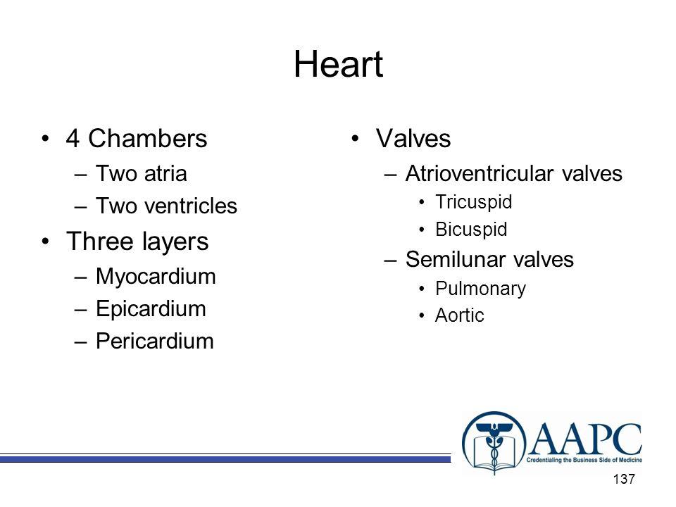 Heart 4 Chambers –Two atria –Two ventricles Three layers –Myocardium –Epicardium –Pericardium Valves –Atrioventricular valves Tricuspid Bicuspid –Semi