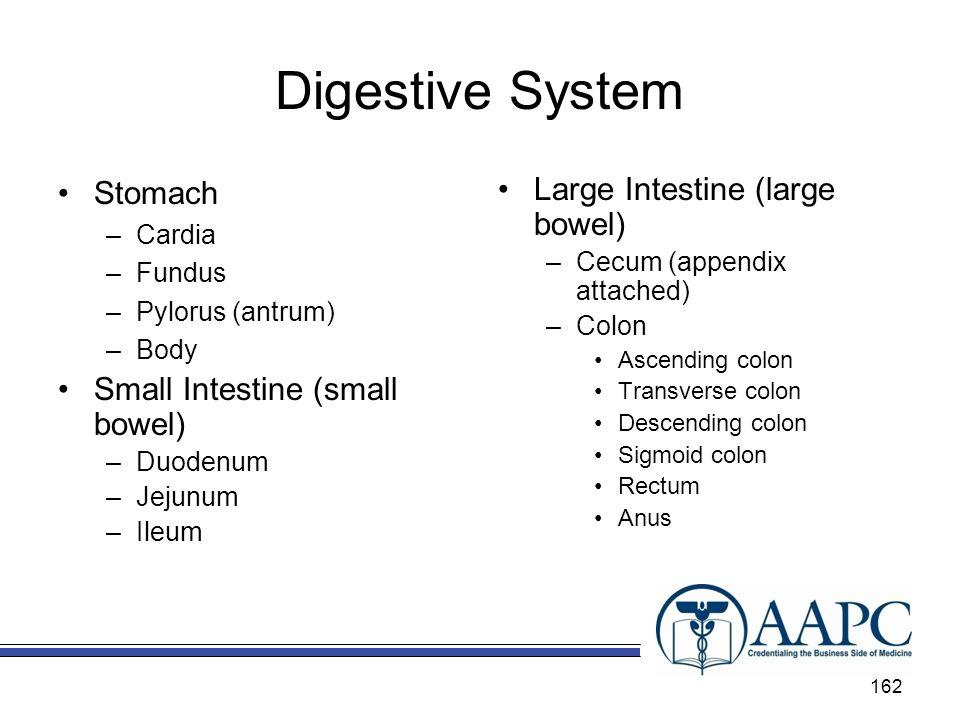 Digestive System Stomach –Cardia –Fundus –Pylorus (antrum) –Body Small Intestine (small bowel) –Duodenum –Jejunum –Ileum Large Intestine (large bowel)