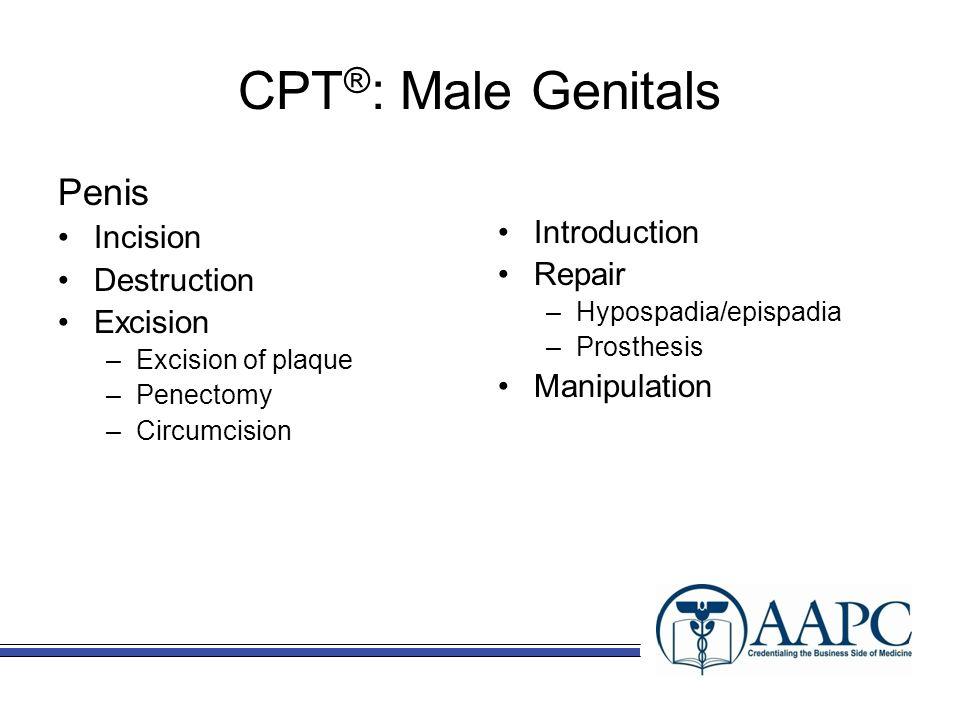 CPT ® : Male Genitals Penis Incision Destruction Excision –Excision of plaque –Penectomy –Circumcision Introduction Repair –Hypospadia/epispadia –Pros