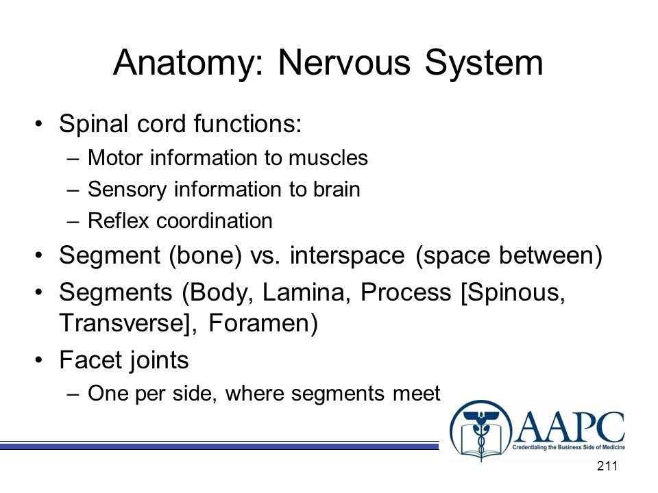 Anatomy: Nervous System Spinal cord functions: –Motor information to muscles –Sensory information to brain –Reflex coordination Segment (bone) vs.