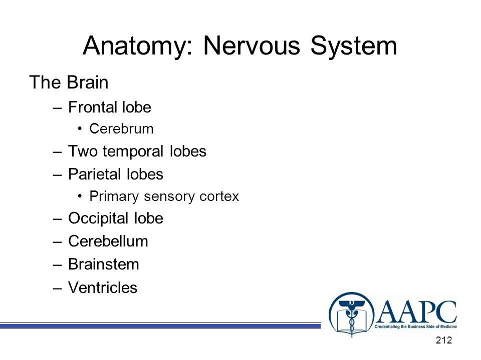 Anatomy: Nervous System The Brain –Frontal lobe Cerebrum –Two temporal lobes –Parietal lobes Primary sensory cortex –Occipital lobe –Cerebellum –Brain