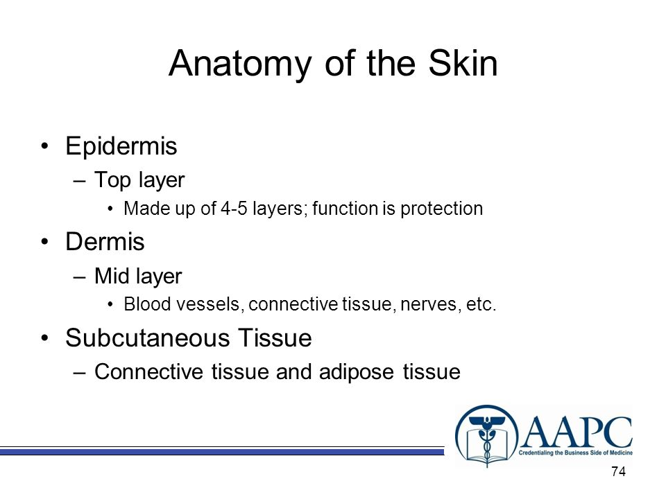 Anatomy of the Skin Epidermis –Top layer Made up of 4-5 layers; function is protection Dermis –Mid layer Blood vessels, connective tissue, nerves, etc.