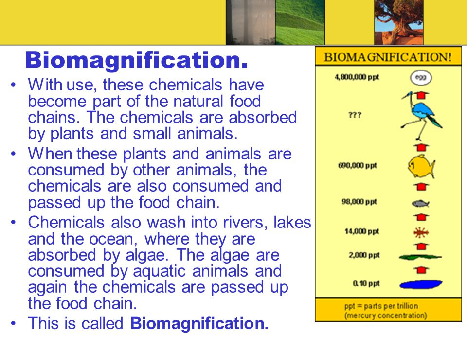 Biomagnification. With use, these chemicals have become part of the natural food chains. The chemicals are absorbed by plants and small animals. When
