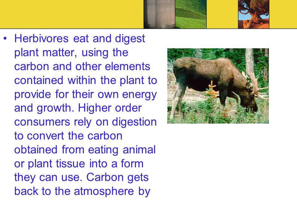 Herbivores eat and digest plant matter, using the carbon and other elements contained within the plant to provide for their own energy and growth. Hig