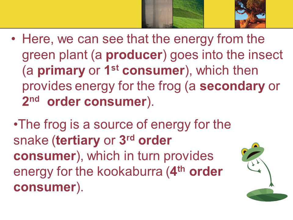 In this food chain, the kookaburra is the highest order consumer, as it is unlikely that anything else will be able to catch and eat it.
