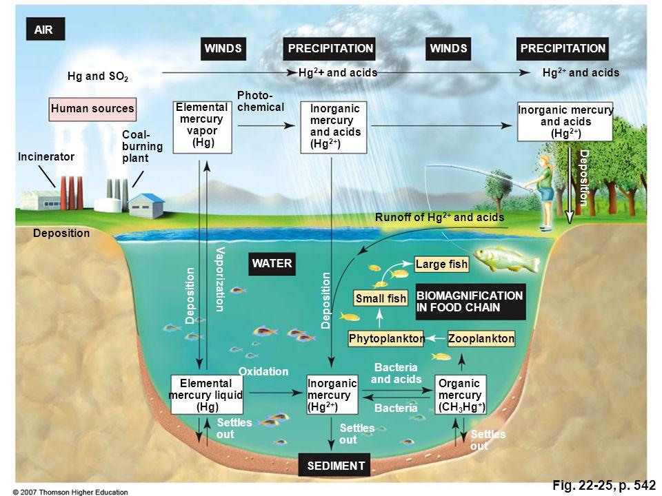Fig. 22-25, p. 542 BIOMAGNIFICATION IN FOOD CHAIN SEDIMENT PRECIPITATION WINDS AIR WATER Inorganic mercury and acids (Hg 2+ ) Inorganic mercury and ac