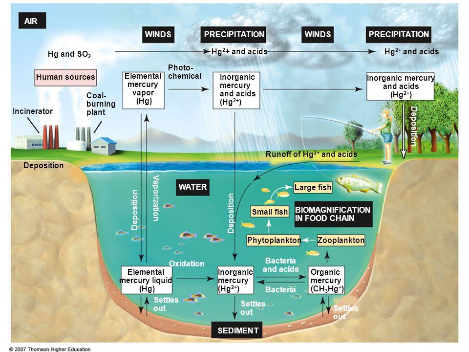 BIOMAGNIFICATION IN FOOD CHAIN SEDIMENT PRECIPITATION WINDS AIR WATER Inorganic mercury and acids (Hg 2+ ) Inorganic mercury and acids (Hg 2+ ) Organi