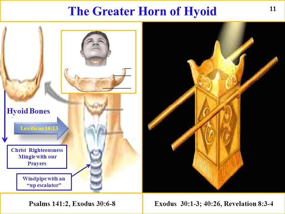 Psalms 141:2, Exodus 30:6-8 Exodus 30:1-3; 40:26, Revelation 8:3-4 Hyoid Bones Christ Righteousness Mingle with our Prayers Windpipe with an up escalator Leviticus 16:13 The Greater Horn of Hyoid 11