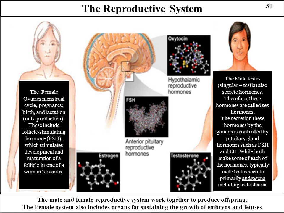 The Reproductive System 30 The Female Ovaries menstrual cycle, pregnancy, birth, and lactation (milk production). These include follicle-stimulating h
