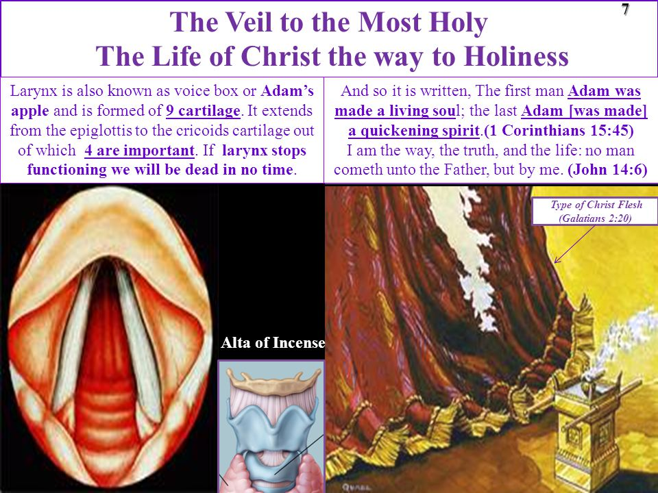 Type of Christ Flesh (Galatians 2:20) The Veil to the Most Holy The Life of Christ the way to Holiness7 Alta of Incense Larynx is also known as voice