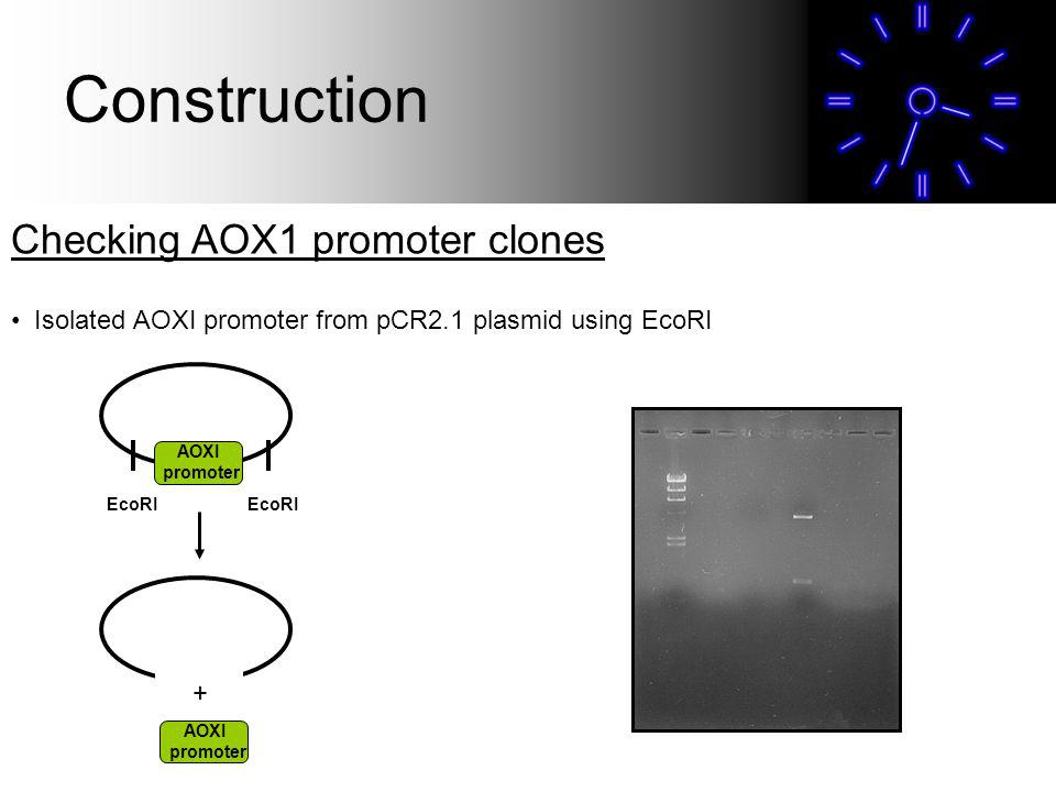 Construction Checking AOX1 promoter clones Isolated AOXI promoter from pCR2.1 plasmid using EcoRI AOXI promoter AOXI promoter EcoRI +