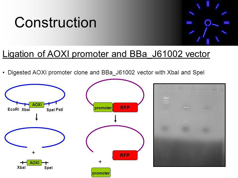 Ligation of AOXI promoter and BBa_J61002 vector Digested AOXI promoter clone and BBa_J61002 vector with XbaI and SpeI promoter RFP EcoRI XbaI SpeI PstI AOXI + XbaI SpeI AOXI RFP promoter + Construction