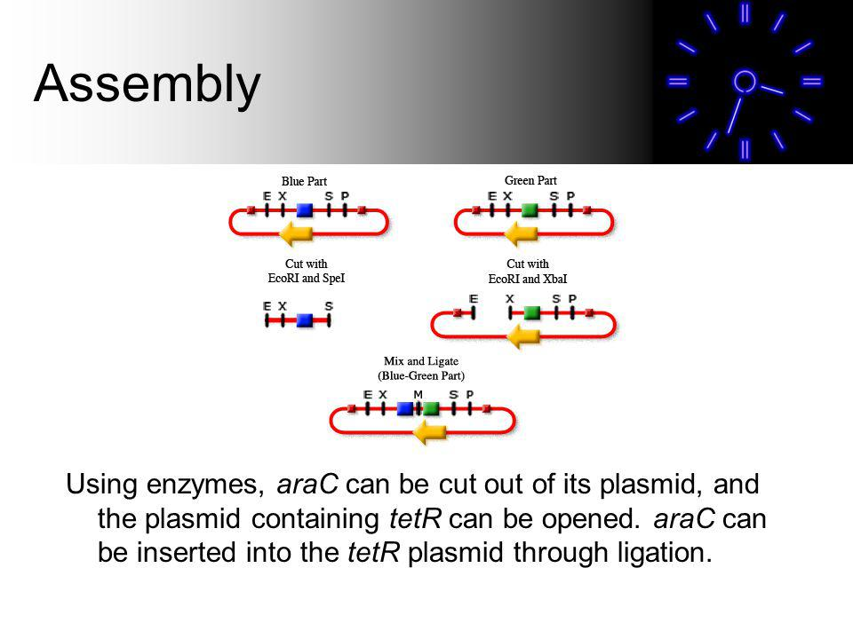 Assembly Using enzymes, araC can be cut out of its plasmid, and the plasmid containing tetR can be opened.