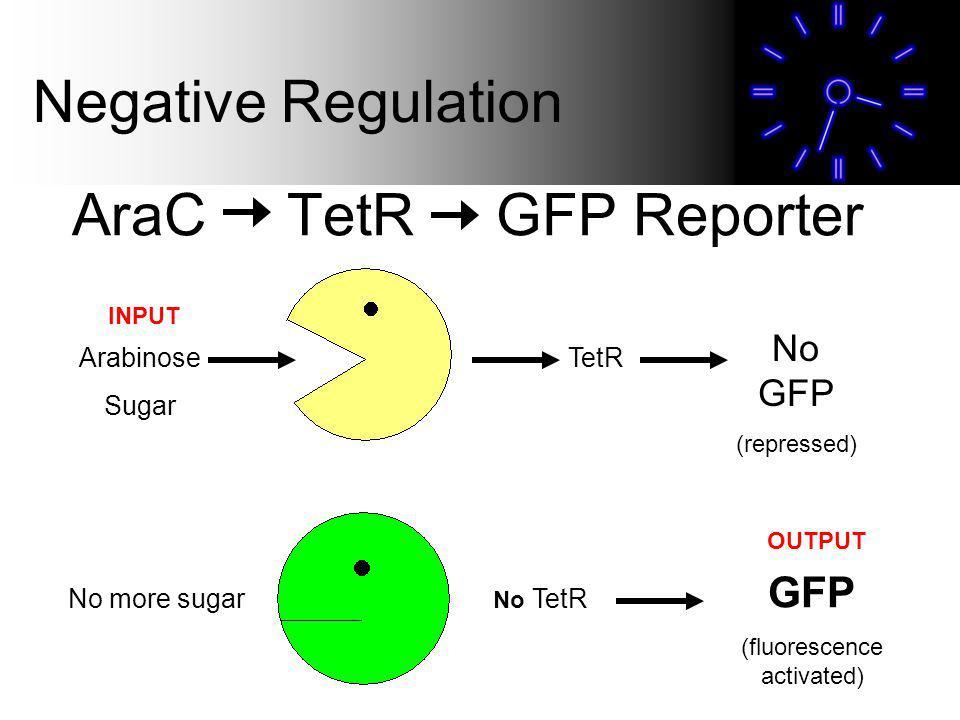 AraC TetR GFP Reporter Negative Regulation Arabinose Sugar No more sugar TetR No GFP (repressed) No TetR GFP (fluorescence activated) INPUT OUTPUT