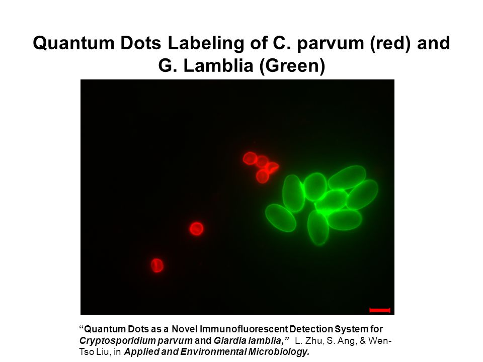Quantum Dots Labeling of C.parvum (red) and G.