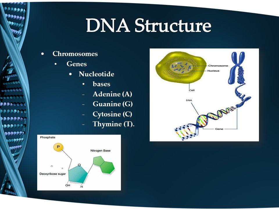 Chromosomes Genes Nucleotide bases Adenine (A) Guanine (G) Cytosine (C) Thymine (T).