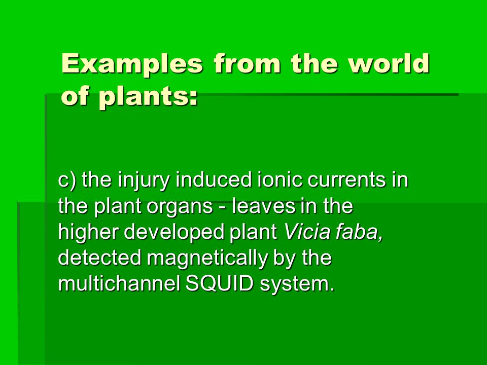 Examples from the world of plants: c) the injury induced ionic currents in the plant organs - leaves in the higher developed plant Vicia faba, detected magnetically by the multichannel SQUID system.