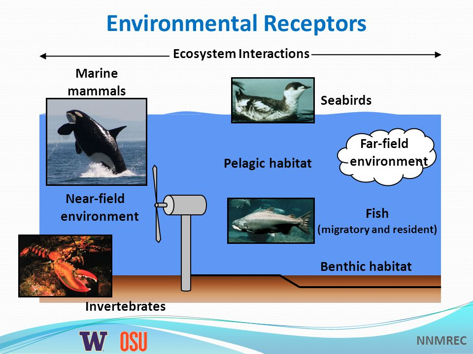 NNMREC Environmental Receptors Near-field environment Far-field environment Ecosystem Interactions Benthic habitat Pelagic habitat Marine mammals Fish (migratory and resident) Seabirds Invertebrates