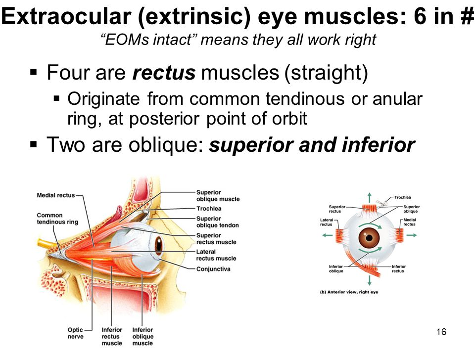16 Extraocular (extrinsic) eye muscles: 6 in # EOMs intact means they all work right Four are rectus muscles (straight) Originate from common tendinou