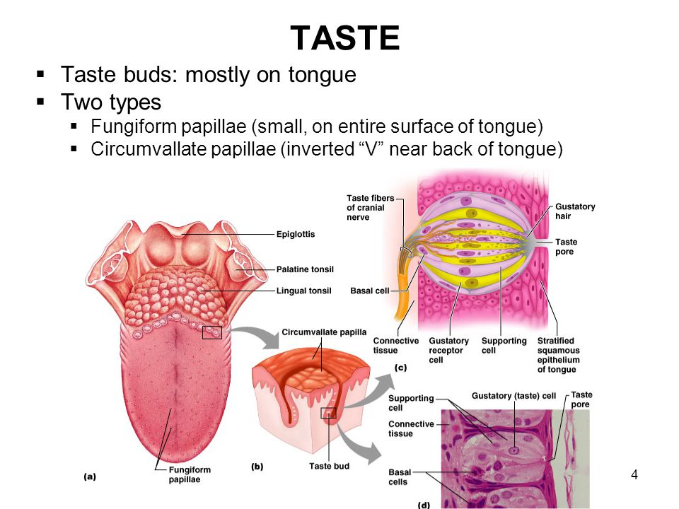 4 TASTE Taste buds: mostly on tongue Two types Fungiform papillae (small, on entire surface of tongue) Circumvallate papillae (inverted V near back of
