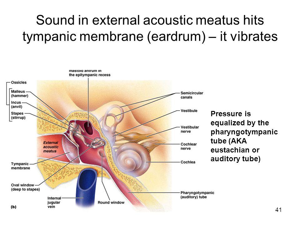 41 Sound in external acoustic meatus hits tympanic membrane (eardrum) – it vibrates Pressure is equalized by the pharyngotympanic tube (AKA eustachian