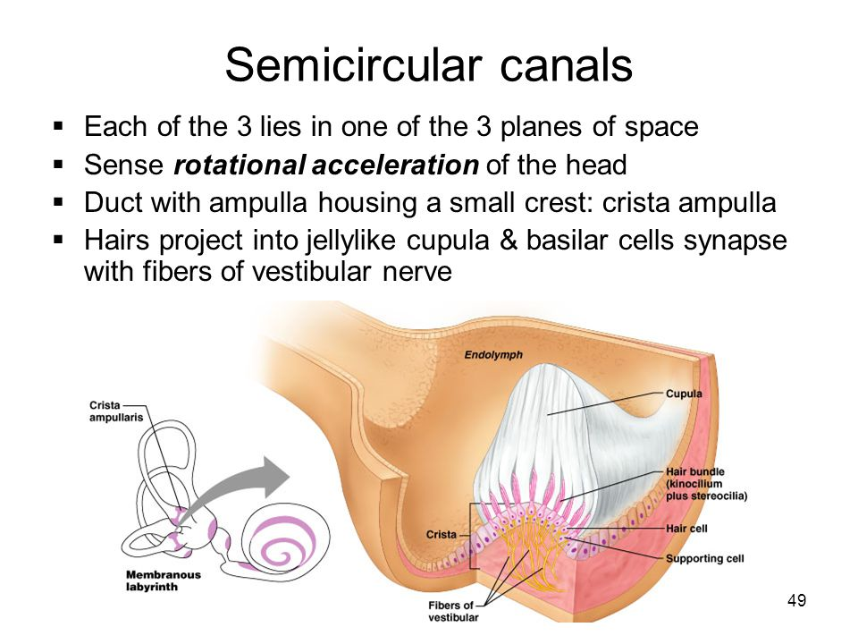 49 Semicircular canals Each of the 3 lies in one of the 3 planes of space Sense rotational acceleration of the head Duct with ampulla housing a small
