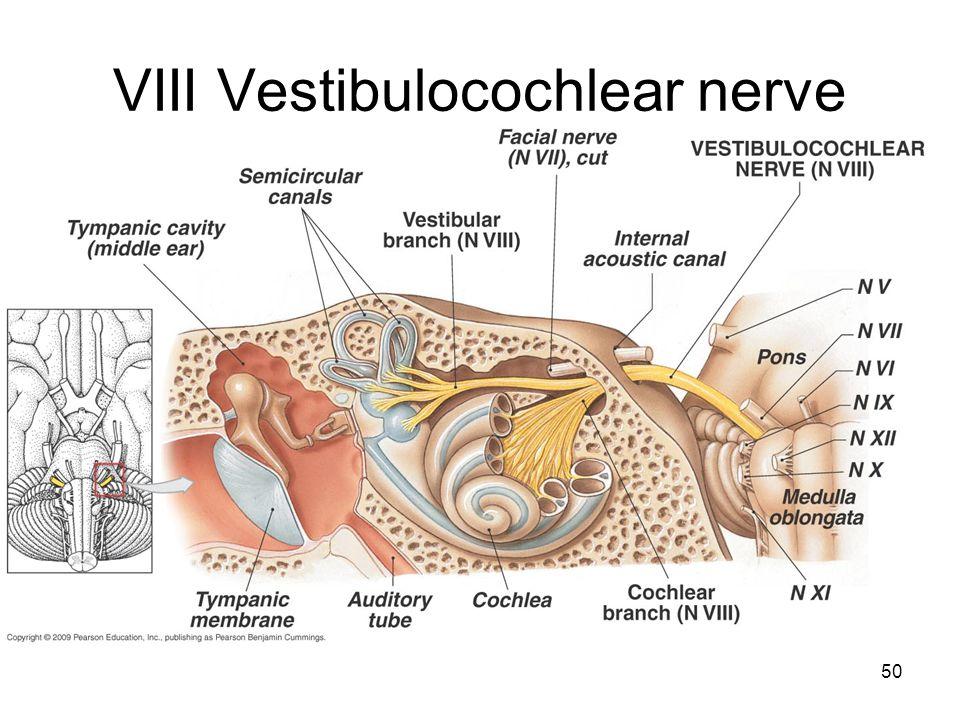 50 VIII Vestibulocochlear nerve