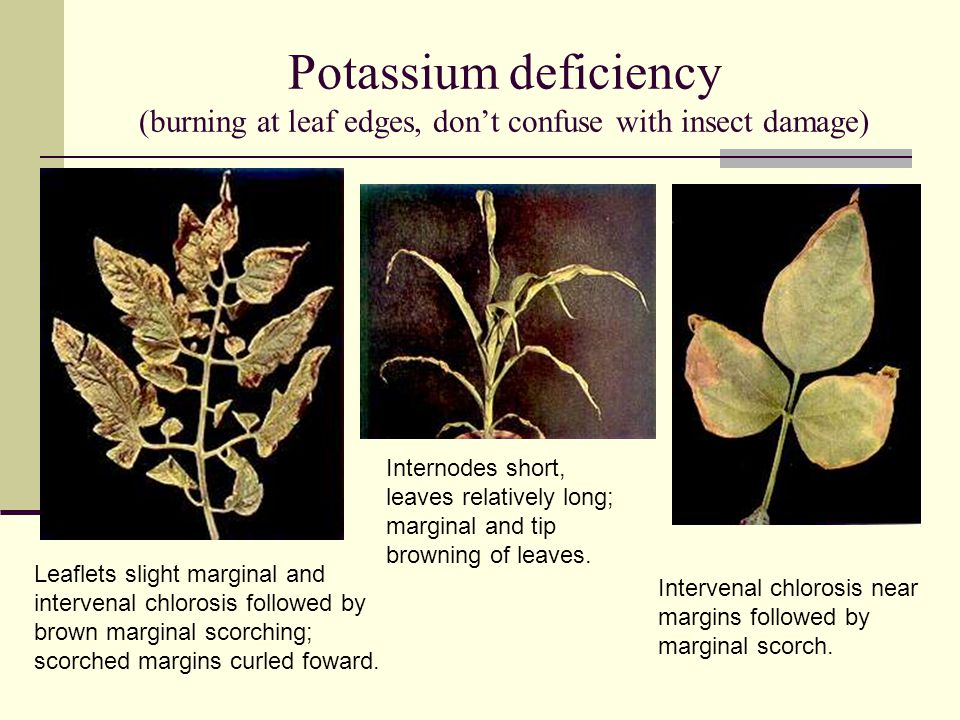 Calcium deficiency (youngest leaves show deficiency, opposite of N effect) Dying off of terminal leaflets and flowers; leaves purplish brown tinting.