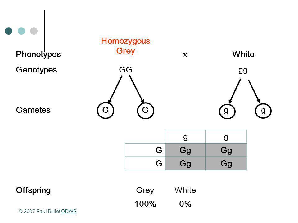 Homozygous Grey Phenotypes x White GenotypesGGgg GametesGGgg gg GGg G OffspringGreyWhite 100%0% © 2007 Paul Billiet ODWSODWS