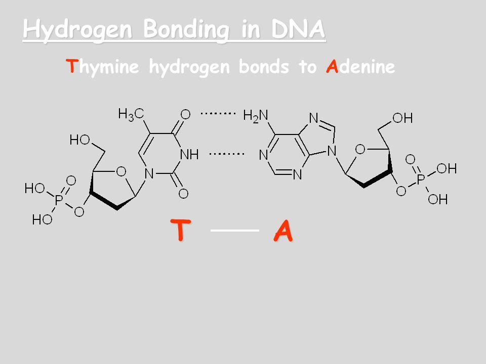 Hydrogen Bonding in DNA TA Thymine hydrogen bonds to Adenine