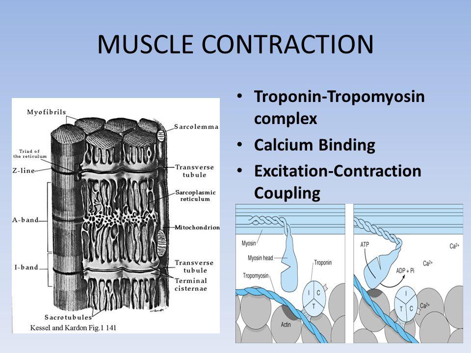 MUSCLE CONTRACTION Troponin-Tropomyosin complex Calcium Binding Excitation-Contraction Coupling