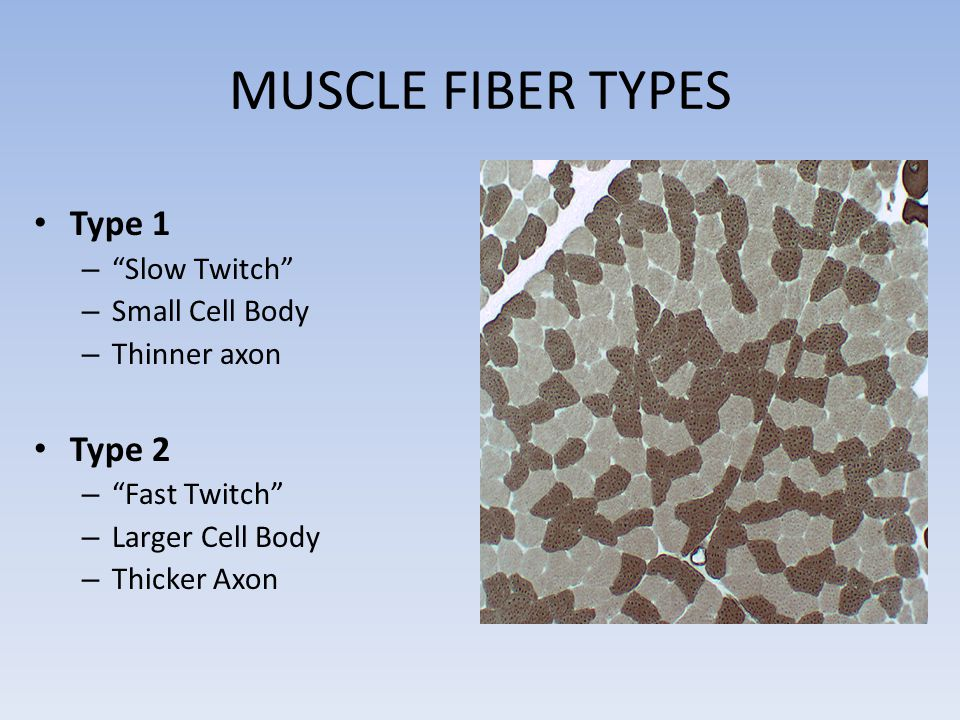 MUSCLE FIBER TYPES Type 1 – Slow Twitch – Small Cell Body – Thinner axon Type 2 – Fast Twitch – Larger Cell Body – Thicker Axon