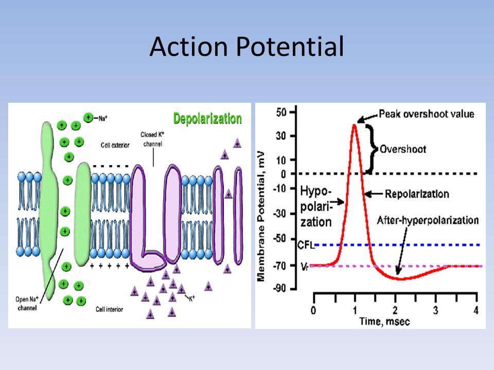 Nerve Fiber Classificaton Fiber Type FunctionDiameterConduction Velocity AαAα Proprioception, somatomotor, touch 10-2050-120 AβAβ Touch, pressure, extrafusal 4-1225-70 AγAγ Motor to muscle spindle 2-810-50 AδAδ Pain (esp cold) 1-53-30 B Preganglionic autonomic 1-33-15 C Pain/temp/postganglionic autonomic/mechanoreceptor <1<2